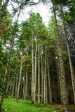 Tall Fir Trees in the Forest at National Park Durmitor, Montenegro, Balkans Stock Image