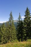 Tall firs. In a mountainous landscape in a clear summer day Stock Images