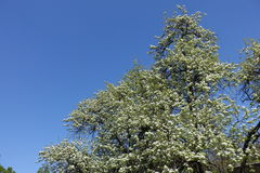 Tall flowering pear tree against the sky Stock Photo