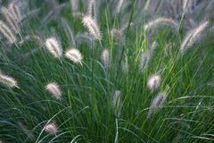Tall fluffy grass Royalty Free Stock Photo