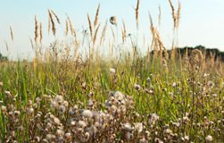 Tall fluffy grass in field. Natural background Stock Photo