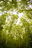 Tall forest Royalty Free Stock Image
