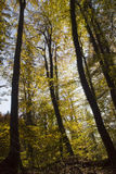 Tall forest trees in autumn. Forest trees in autumnal season Royalty Free Stock Photos