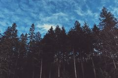 Tall forest trees with a blue sky and clouds Stock Image