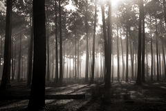 Tall forest Trees Royalty Free Stock Photos