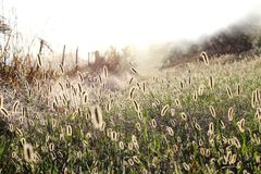 Tall Foxtail Grass in a Prairie in the Morning Stock Photos