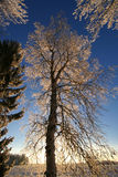 Tall frost tree Stock Photography