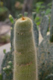 Tall Fuzzy Unusual Desert Cactus and Succulent Royalty Free Stock Photo