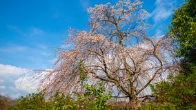 A tall giant old cherry blossum tree in the park in Kyoto. Under clear blue sky Royalty Free Stock Photos