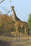 Tall Giraffe Stock Photos