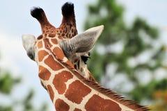 Tall Giraffe Royalty Free Stock Photos