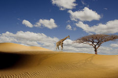 A tall giraffe in the African desert Royalty Free Stock Image