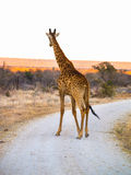Tall giraffe on dirt road with South African landscape behind. Royalty Free Stock Photography