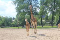 A tall giraffe with its baby in the Chester zoo Royalty Free Stock Image