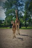 A tall giraffe with its baby in the Chester zoo Royalty Free Stock Photos