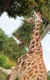 tall giraffe with a long neck eats Stock Photography