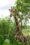 Tall giraffe standing Royalty Free Stock Photos