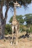 Tall giraffe Royalty Free Stock Image