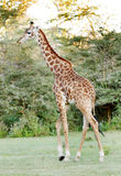 A tall Giraffe walking Stock Image