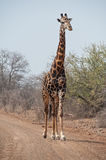 Tall Giraffe Royalty Free Stock Photography