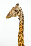 A tall Giraffe on white background Royalty Free Stock Photo
