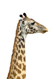 A tall Giraffe on white background. The long neck of a Giraffe (Giraffa camelopardalis) on a white sky as background. Its long neck is a chief distinguishing Stock Image