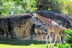 Tall giraffe in zoo Royalty Free Stock Photo