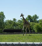 Tall giraffe at the zoo in the summer Stock Photo