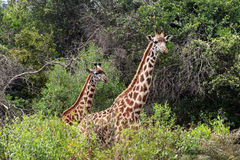 Tall giraffes Stock Image