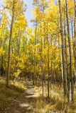Tall Golden Aspen Trail. The Colorado Trail winds through a colorful Aspen grove in Autumn color in the Kenosha Pass stock image