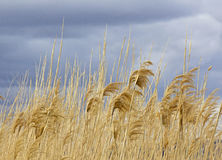 Tall Golden Grasses Blowing Against Storm Skies Stock Photo