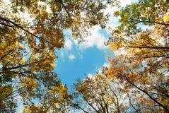 Tall golden oak tree tops Stock Photography