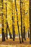 Tall golden trees in autumn Royalty Free Stock Image