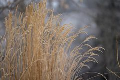 Golden grasses in a dull gray winter landscape. royalty free stock image