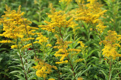 Tall goldenrod. Close up of tall goldenrod Stock Photos