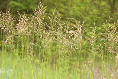 Tall Grass. With seed heads background Stock Photo