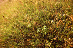 Tall grass. Background. A field of tall grass Stock Photography