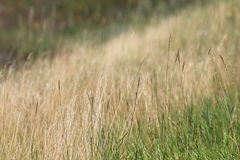 Free Tall Grass Royalty Free Stock Photos - 15537678