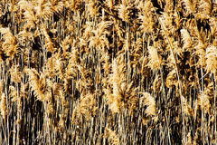 Tall grass. Background  vertical pattern nice and natural Royalty Free Stock Image