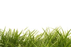 Tall grass. Tall uncut grass on a solid white background Stock Photos