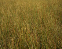 Tall Grass. A field of tall grass royalty free stock photos