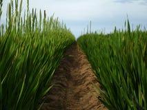Tall Grass. Passageway through tall grass Royalty Free Stock Photo