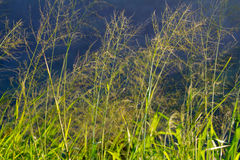 Tall Grass Abstract. Some tall field grass photographed against a dark stormy sky creates this unique and interesting abstract image Royalty Free Stock Photo