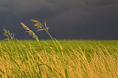 Tall Grass against Gloomy sky. Tall hay grass with gloomy stormy sky behind with wind blowing Royalty Free Stock Image