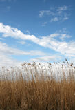 Tall grass against sky. Tall prairie grass on blue sky royalty free stock images