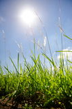 Tall grass against the sun Stock Photography