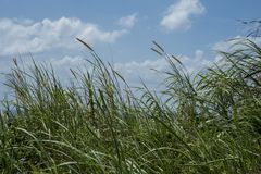 Free Tall Grass And Clouds In A Blue Sky Stock Photography - 129794572