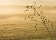 Tall grass with back light in early morning Stock Photography