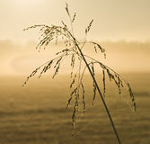 Tall grass with back light in early morning Stock Photo