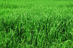 Tall grass background Stock Images